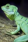 ящерица basilisk цветастая зеленая Стоковое Изображение RF