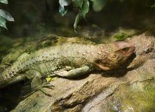 ящерица caiman северная Стоковая Фотография
