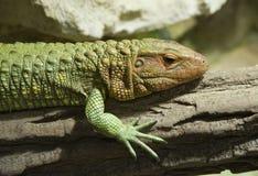 ящерица caiman северная Стоковое Фото