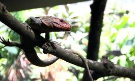 Ящерица Caiman стоит на ветви Стоковые Изображения RF