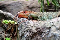 ящерица caiman цветастая Стоковая Фотография