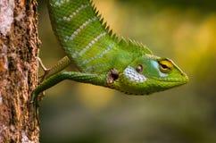 Ящерица calotes Calotes в Шри-Ланка Стоковые Фотографии RF