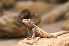 Ящерица Chuckwalla на утесе Стоковое Фото