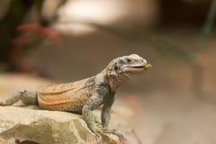 Ящерица Chuckwalla на утесе Стоковые Изображения RF