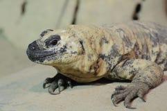 ящерица chuckwalla Стоковое Изображение RF