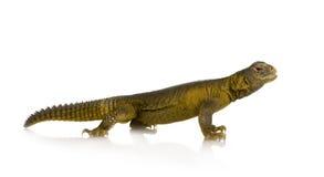 ящерица dabb Стоковая Фотография RF