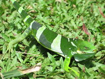 ящерица gecko зеленая Стоковые Изображения RF