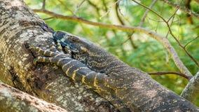 Ящерица Goanna в Австралии летом, сигналит внутри акции видеоматериалы