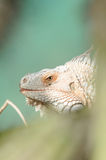 Ящерица - Iguane - игуана Стоковая Фотография RF