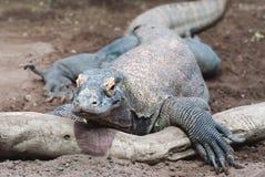 ящерица komodo дракона Стоковая Фотография