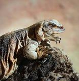 Ящерица, Leguan, игуана Стоковое фото RF