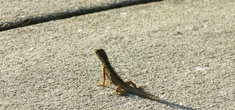 Ящерица Lil Стоковое фото RF