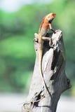 ящерица oriental сада Стоковое фото RF
