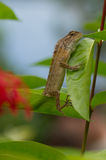 ящерица oriental сада Стоковые Фото