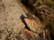 ящерица oriental сада Стоковое Изображение RF