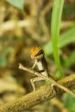 Ящерица - ropewalker Стоковые Фотографии RF