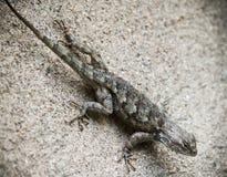 Ящерица ` s Clark колючая на стене, clarkii Sceloporus Стоковые Фотографии RF