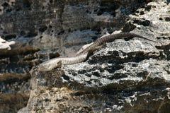 Ящерица ` s Skink короля - остров Rottnest Стоковые Изображения RF