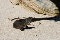 Ящерица ` s Skink короля - остров Rottnest Стоковые Изображения