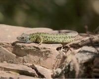 Ящерица Schreiber зеленая Стоковые Фотографии RF