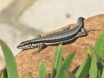 Ящерица Troodos, troodica Phoenicolacerta, Кипр Стоковое фото RF