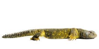 Ящерица Uromastyx стоковые изображения rf
