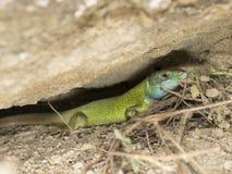 Ящерица Viridis стоковая фотография rf