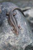 ящерица viviparous Стоковое Изображение RF
