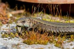 ящерица viviparous Стоковые Фотографии RF
