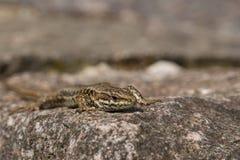 ящерица viviparous Стоковая Фотография