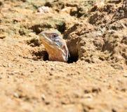 Ящерицы бабочки или Мал-вычисленные по маcштабу ящерицы Стоковые Фотографии RF