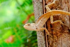 Ящерицы вытаращятся для того чтобы уловить добычу Стоковые Фото