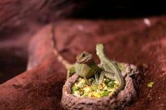 Ящерицы на плите с едой Стоковые Изображения RF