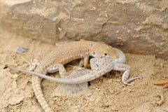 Ящерицы пустыни. Стоковое Изображение RF