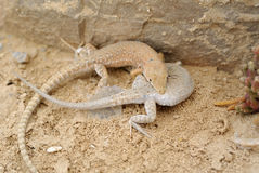 Ящерицы пустыни. Стоковое фото RF