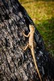Ящерицы, хамелеон, хамелеон на дереве Стоковые Изображения RF