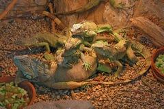 ящерицы Стоковые Изображения RF