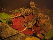 ящерицы Стоковые Фото