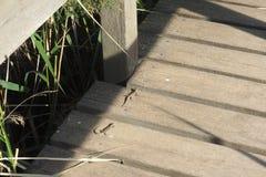 Ящерицы Wo испанские в шаге mader, lerida стоковое фото rf