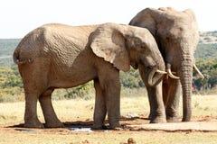 Я на мире - слоне Буша африканца Стоковые Изображения RF