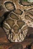 Ядовитая змейка Стоковая Фотография RF