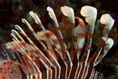 Ядовитая крылатка-зебра Стоковые Фотографии RF