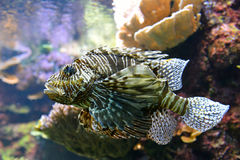 Ядовитые рыбы или скорпион льва Стоковое Фото