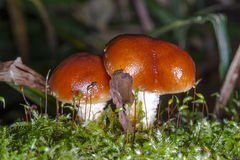 Ядовитый гриб в зеленом мхе Стоковые Изображения