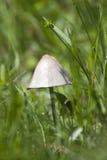 Ядовитый гриб Стоковое фото RF