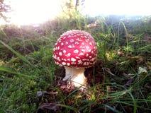 Ядовитый гриб Стоковое Фото