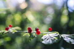 ядовитый каприфолий ягоды Стоковая Фотография