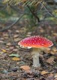Ядовитый мухомор гриба в лесе Стоковые Фото
