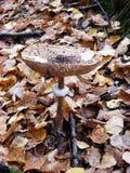 Ядовитый несъедобный грибок грибов стоковая фотография