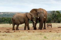 Я сказал вас никакой это моя вода - африканский слон Буша Стоковые Фотографии RF